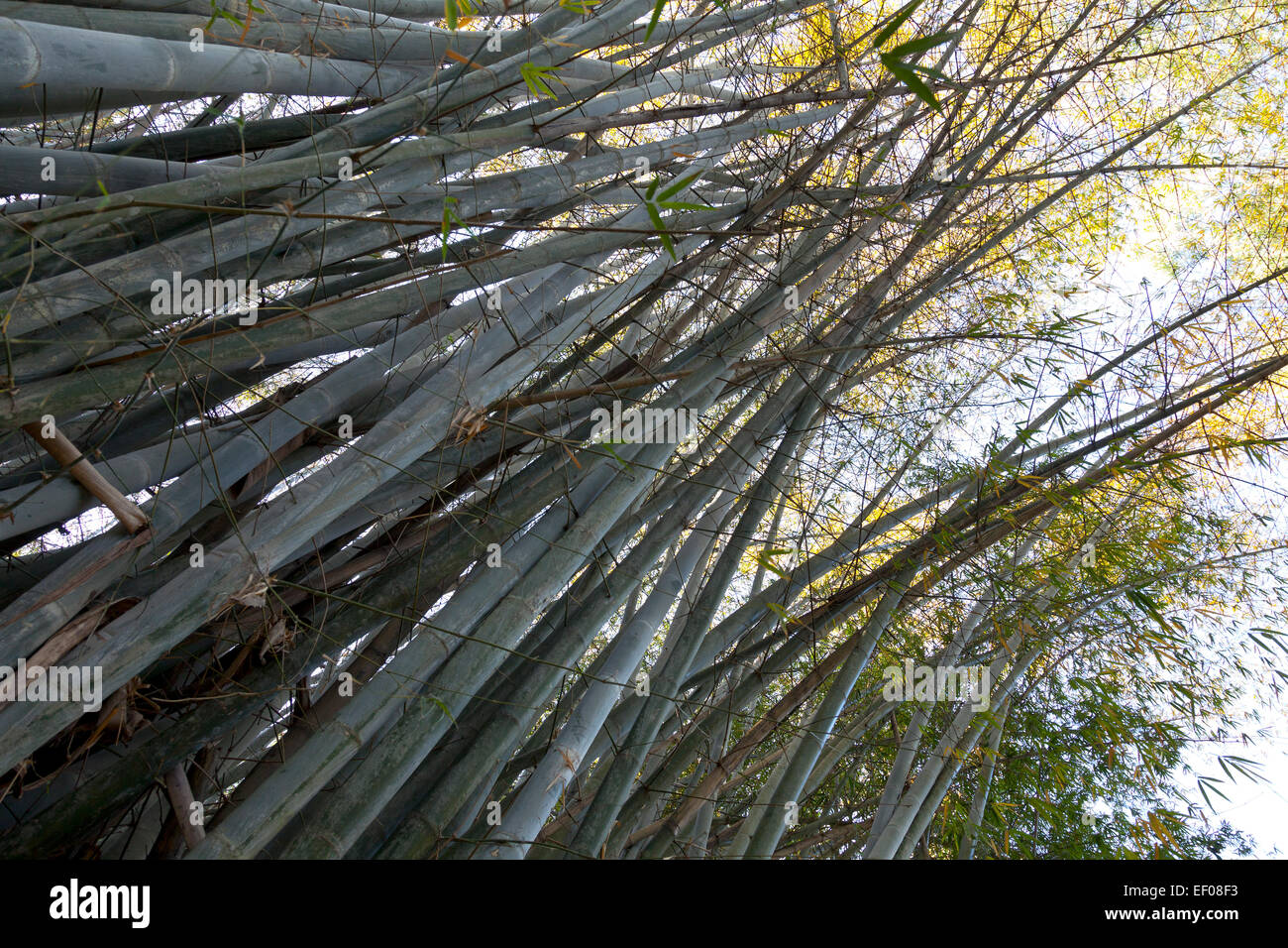 High bamboo plants seen from below on the ground - Stock Image