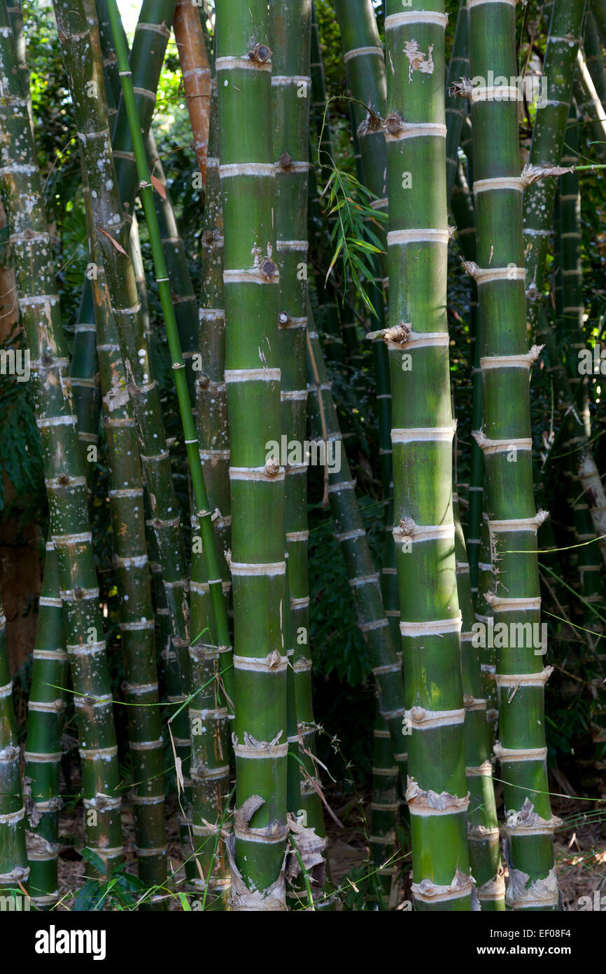 Thick Guadua bamboo - Stock Image