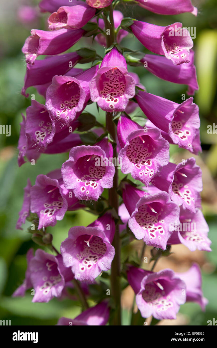 Pink digitalis flowers close up - Stock Image
