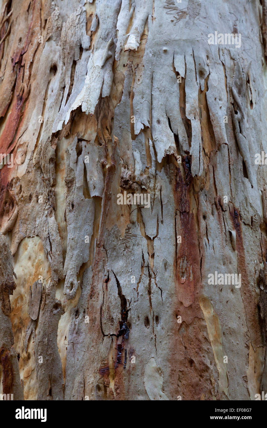 Eucalyptus bark New South Wales Australia - Stock Image