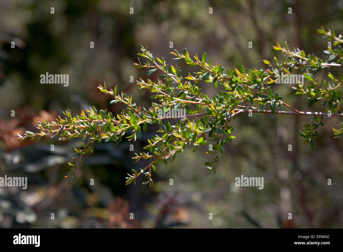 Yellow tea tree branch in NSW, Australia - Stock Image