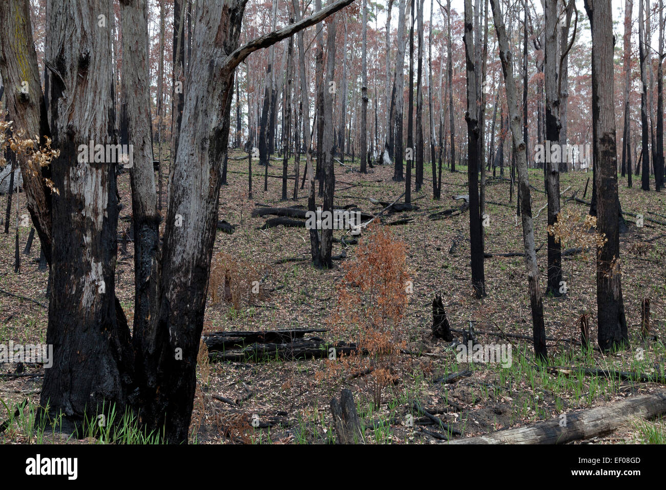 Eucalyptus forest in New South Wales, Australia regenerating after a fire - Stock Image