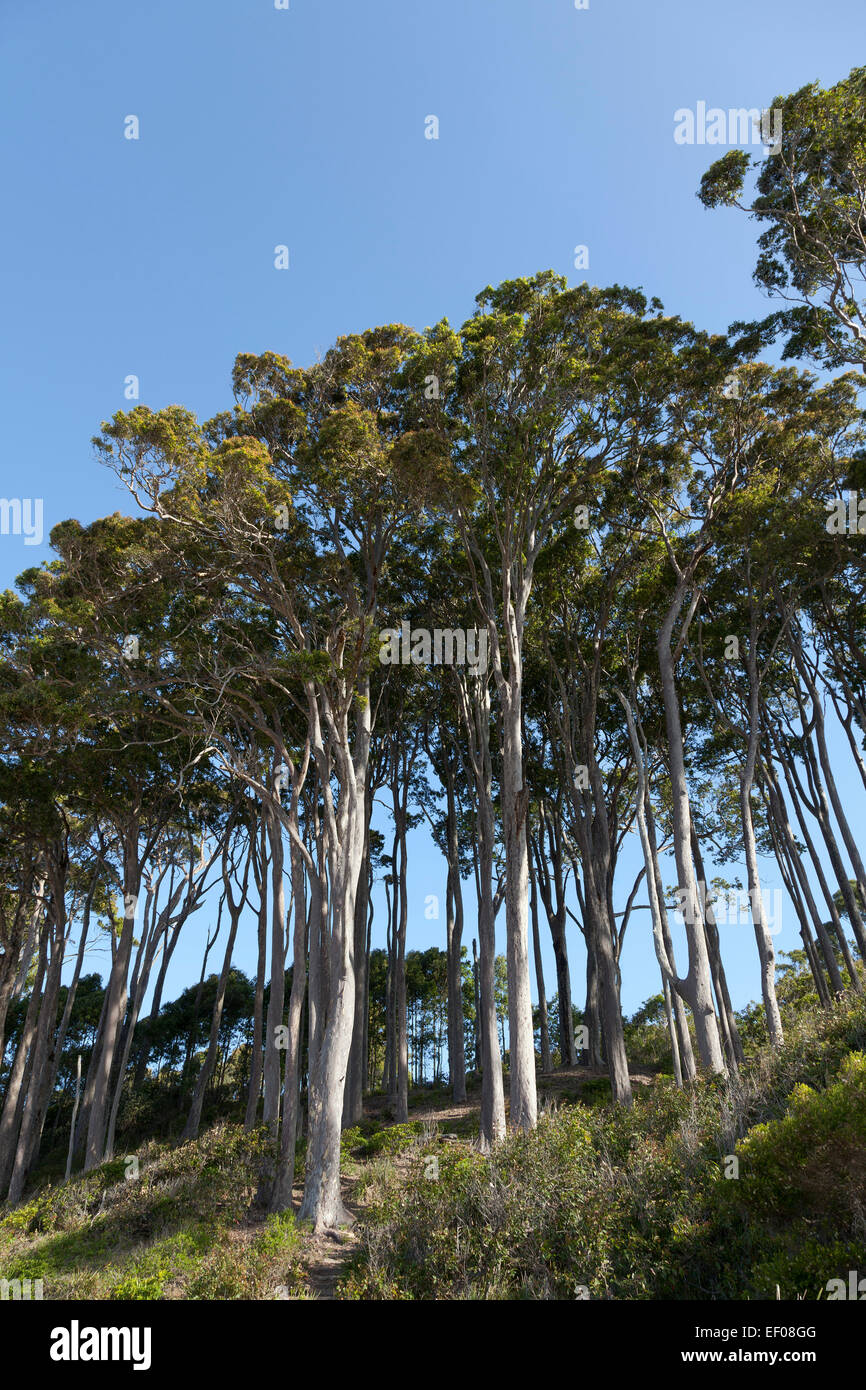 Eucalyptus trees in New South Wales Australia - Stock Image