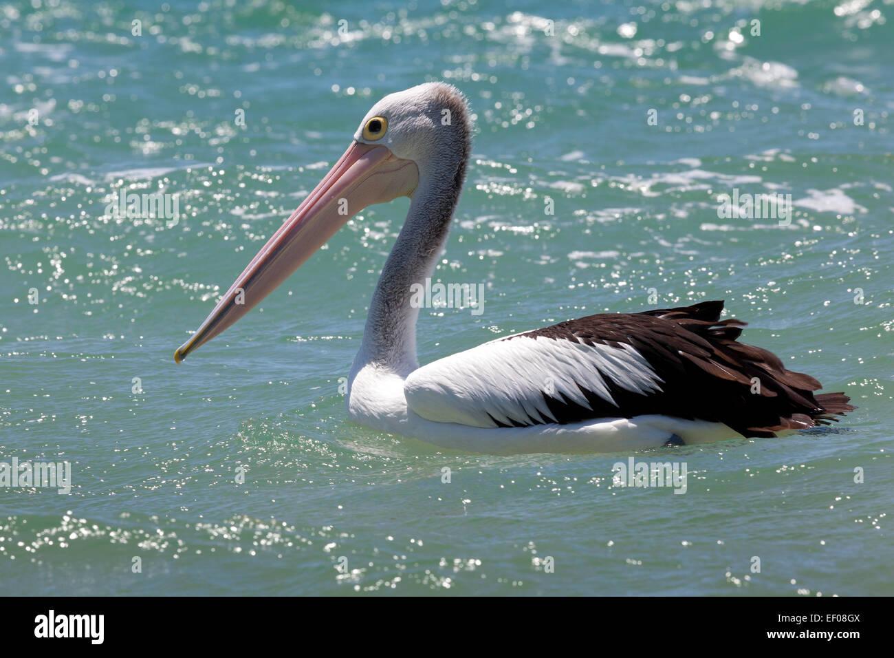 Pelican at Rainbow Beach , Queensland, Australia - Stock Image