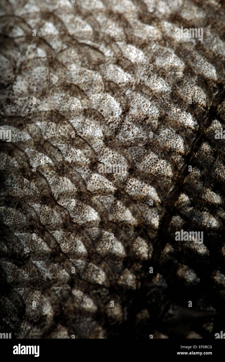 Scale of fish close-up - Stock Image