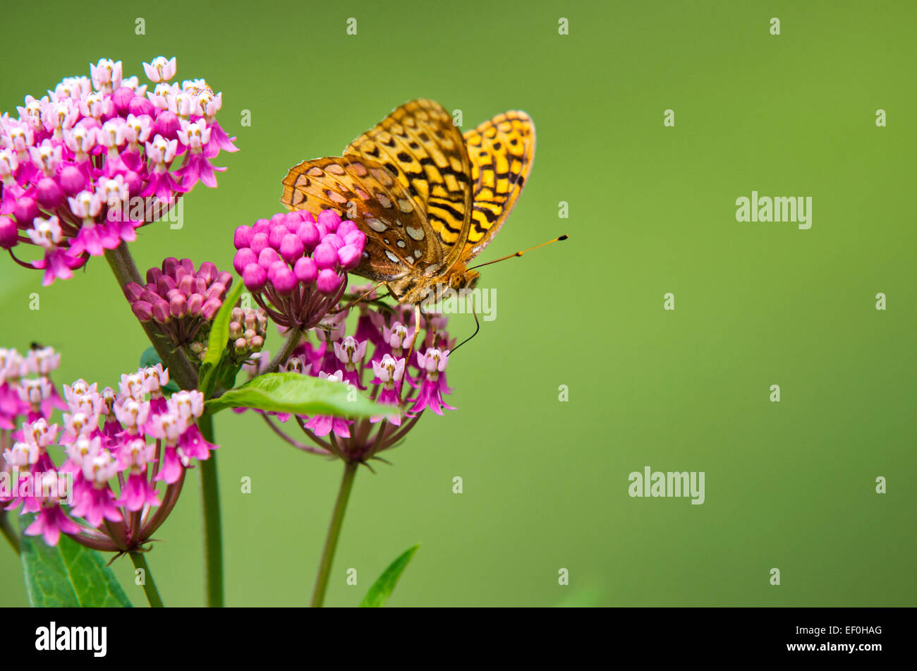 Great spangled fritillary butterfly feeding on pink milkweed flowers in garden. - Stock Image