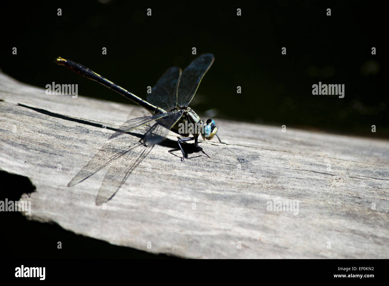 Dragonfly with blue eyes and transparent wings resting on a log. - Stock Image