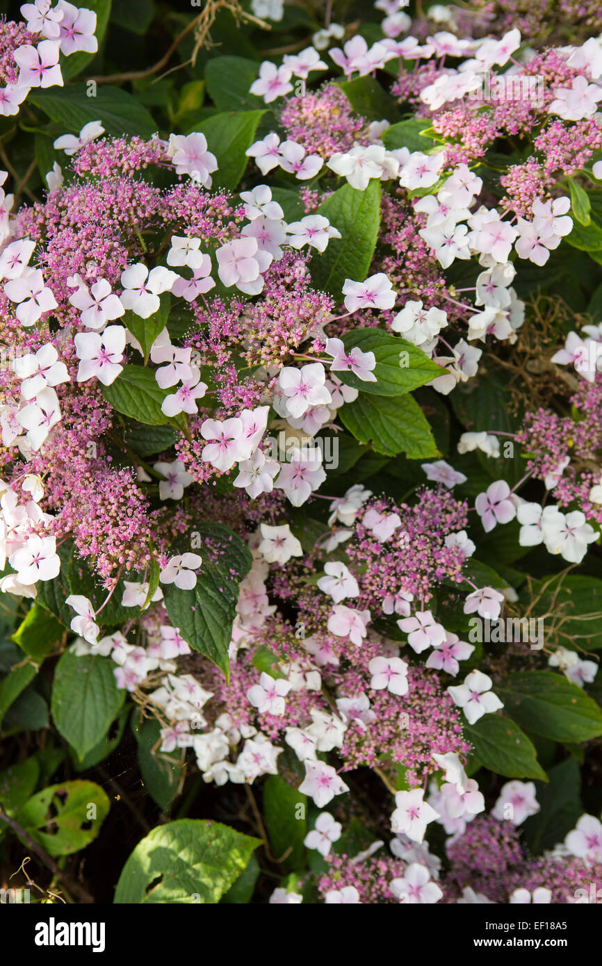 Pink Lace Hydrangea Flowers Hydrangea Aspera Stock Photo 78089821
