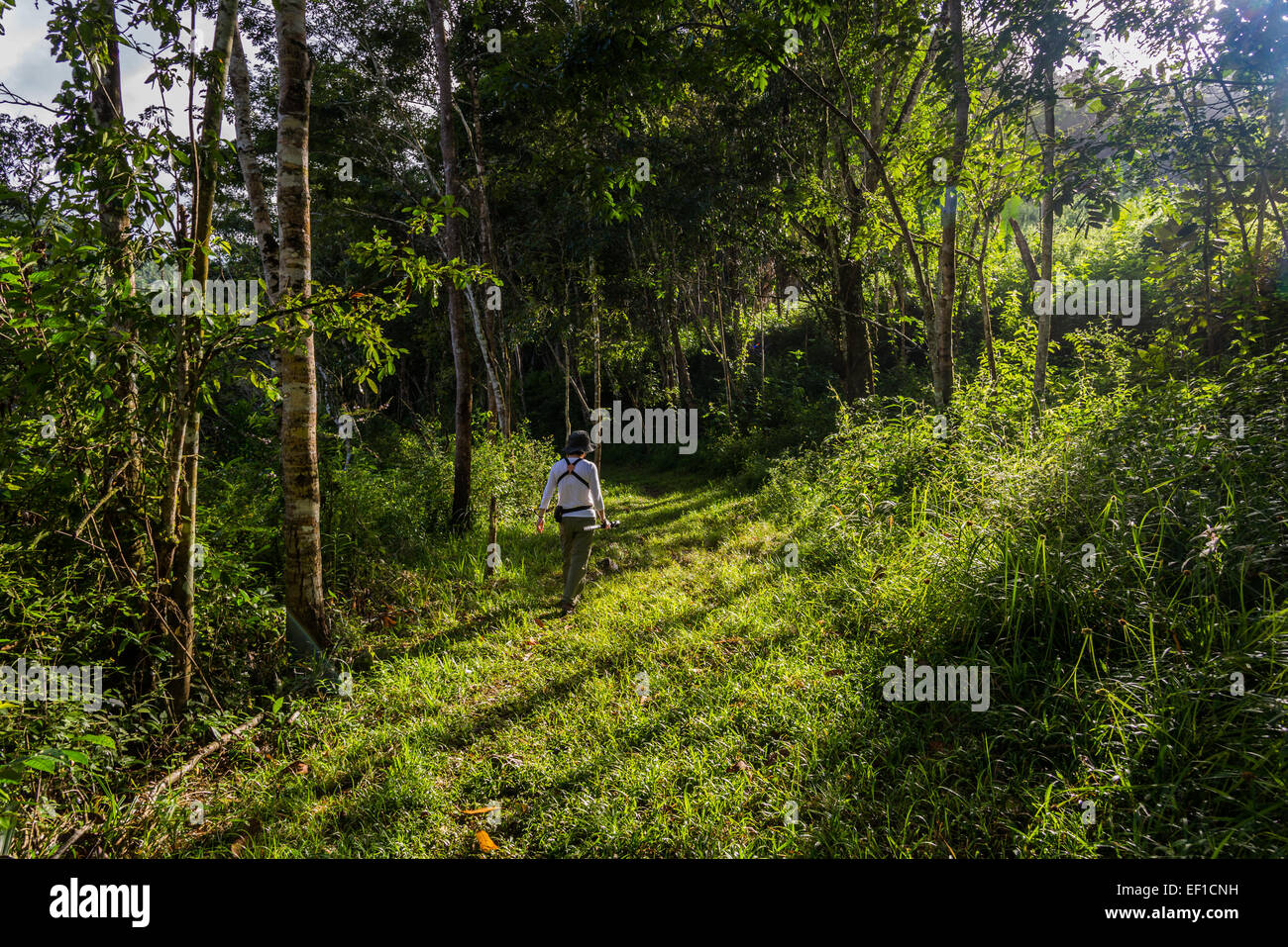 A female hiker walking on trail through lush green jungles of Belize, Central America. - Stock Image