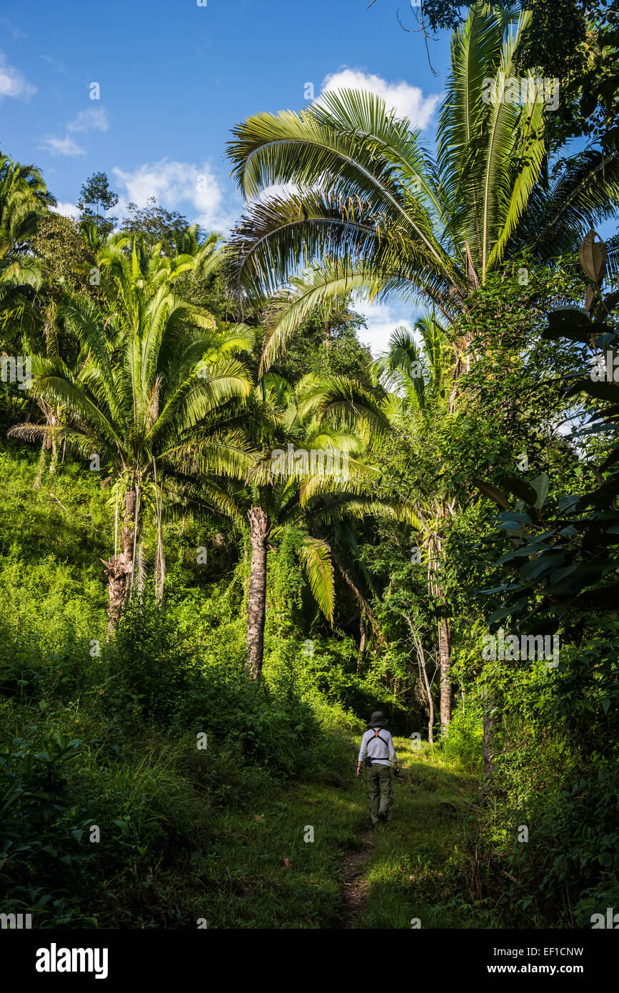 A female hiker walking on trail through lust green rain forest. Belize, Central America. - Stock Image