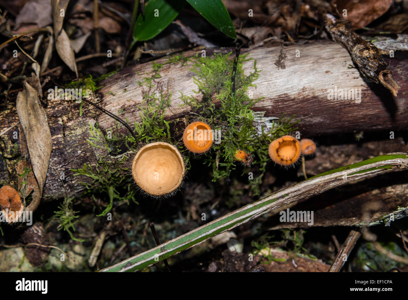 Champaign cup mushrooms in wild. Belize, Central America. - Stock Image