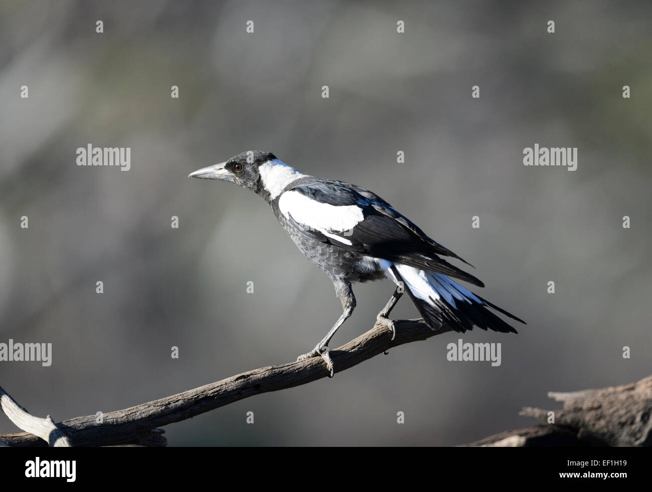 Grey Currawong (Strepera versicolor), Gluepot, South Australia, SA, Australia - Stock Image