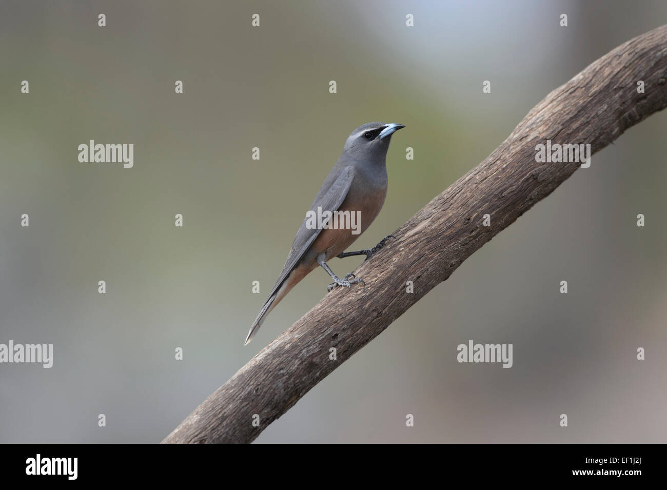 White-browed Woodswallow (Artamus superciliosus), Gluepot, South Australia, SA, Australia - Stock Image