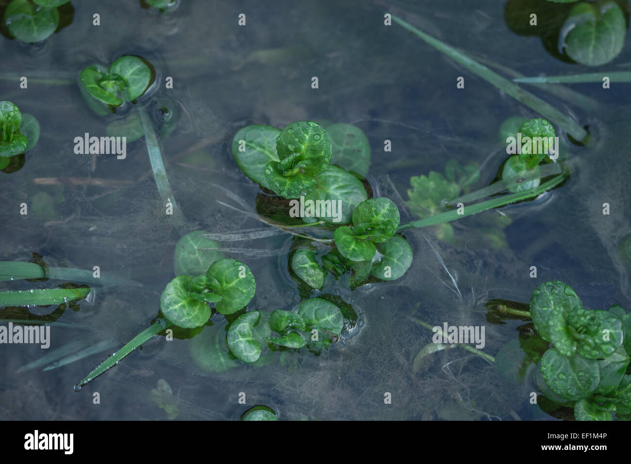 Brooklime / Veronica beccabunga growing in freshwater stream. A foraged and survival food. Foraging & dining on Stock Photo