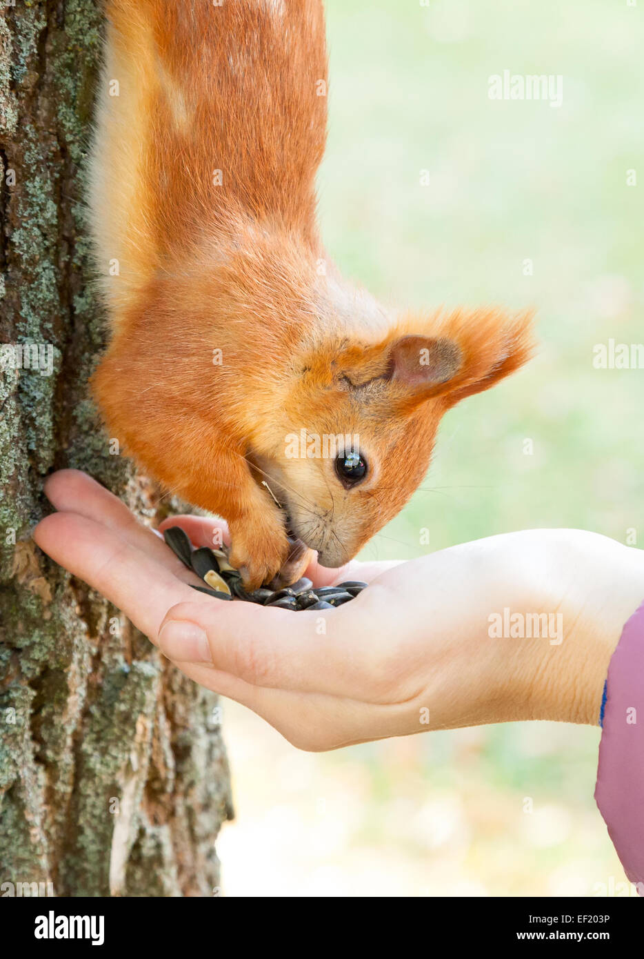 Wild red european squirrel eating from hand - Stock Image