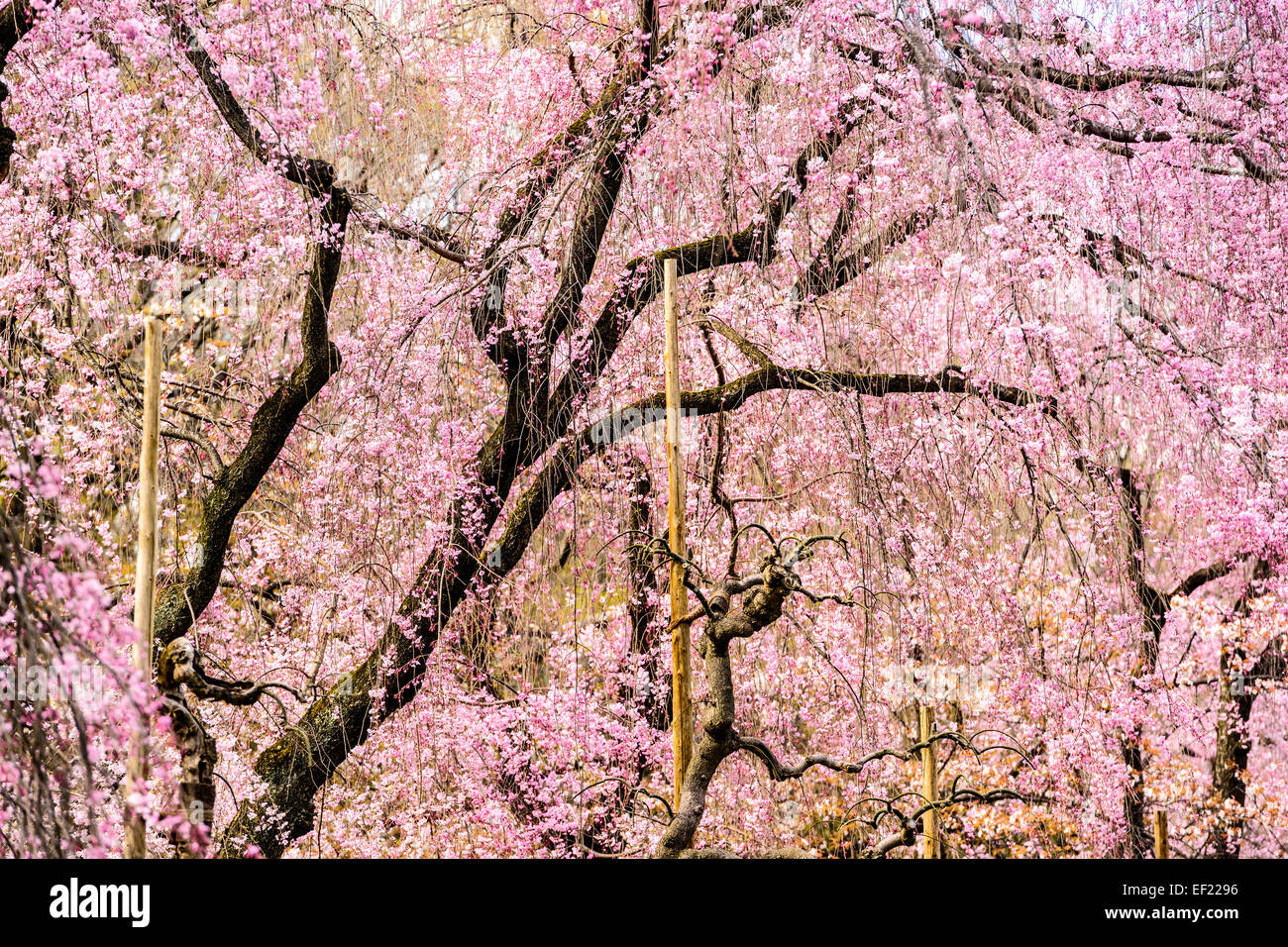 Cherry Trees in Kyoto, Japan. - Stock Image