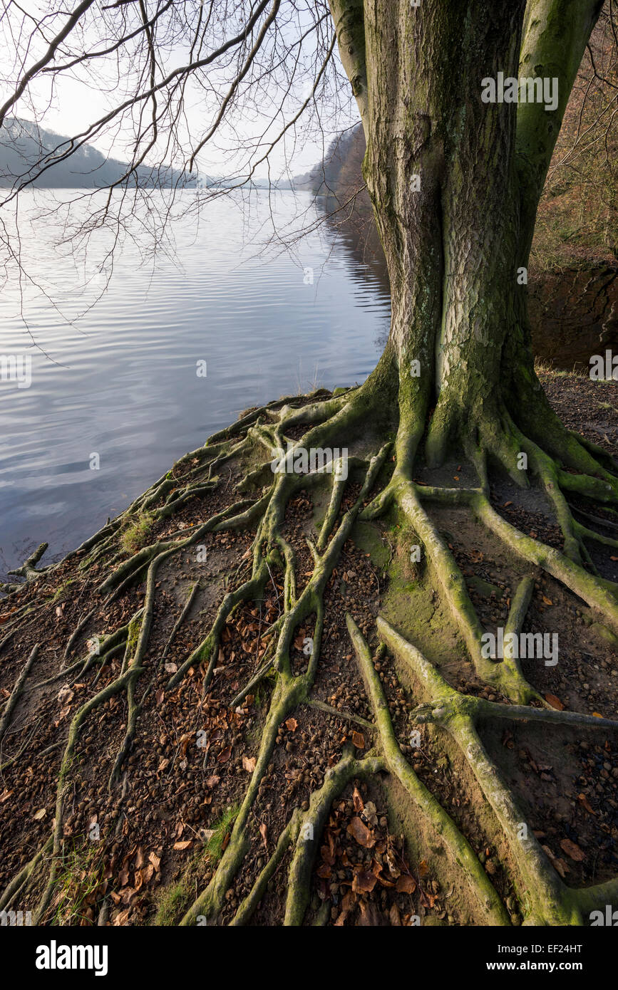 Beech tree roots spreading over the ground beside Valehouse reservoir in Longdendale, Derbyshire. - Stock Image