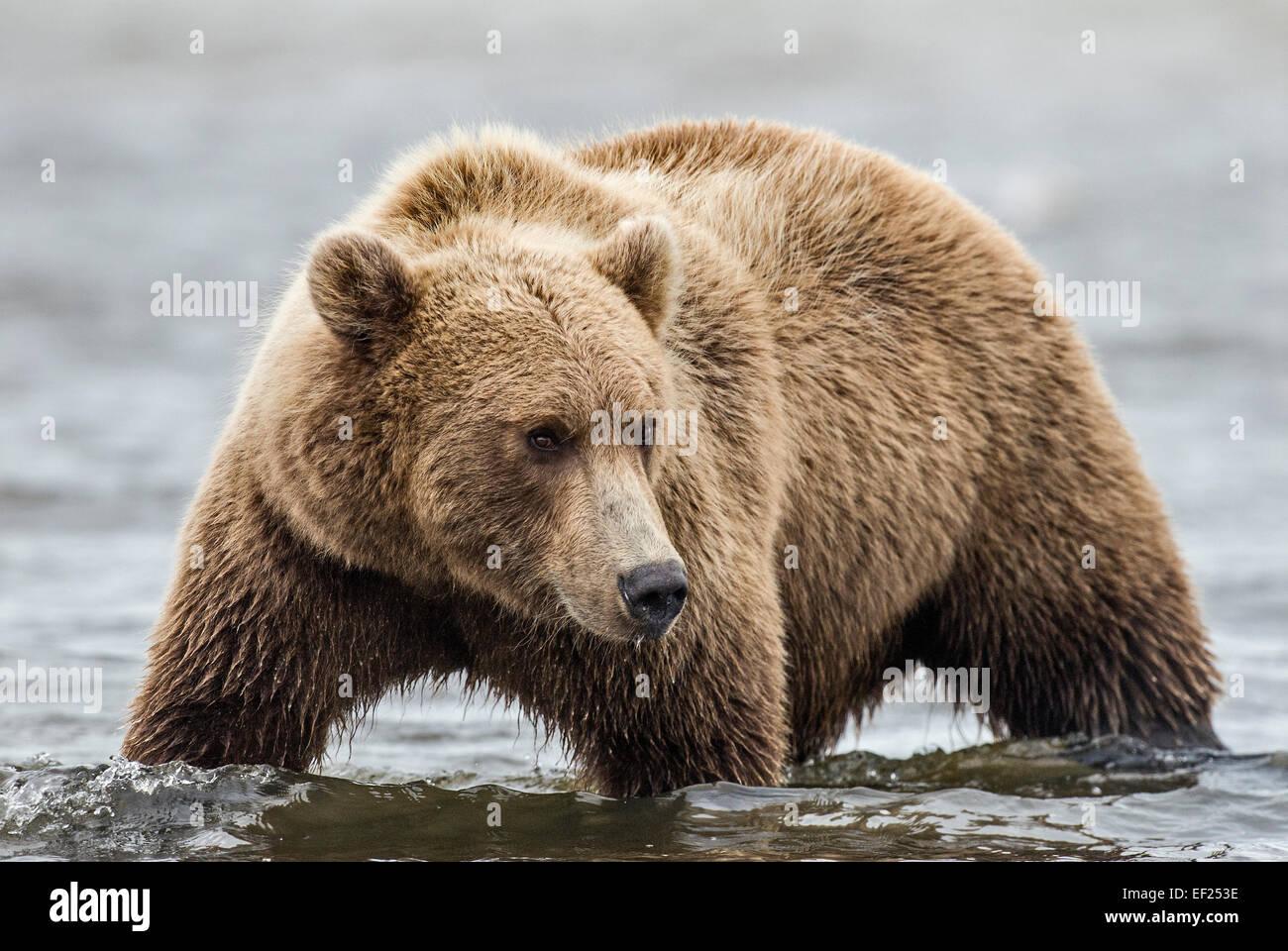 A coastal brown bear stalks salmon in a tidal pool at Lake Clark NP, Alaska - Stock Image