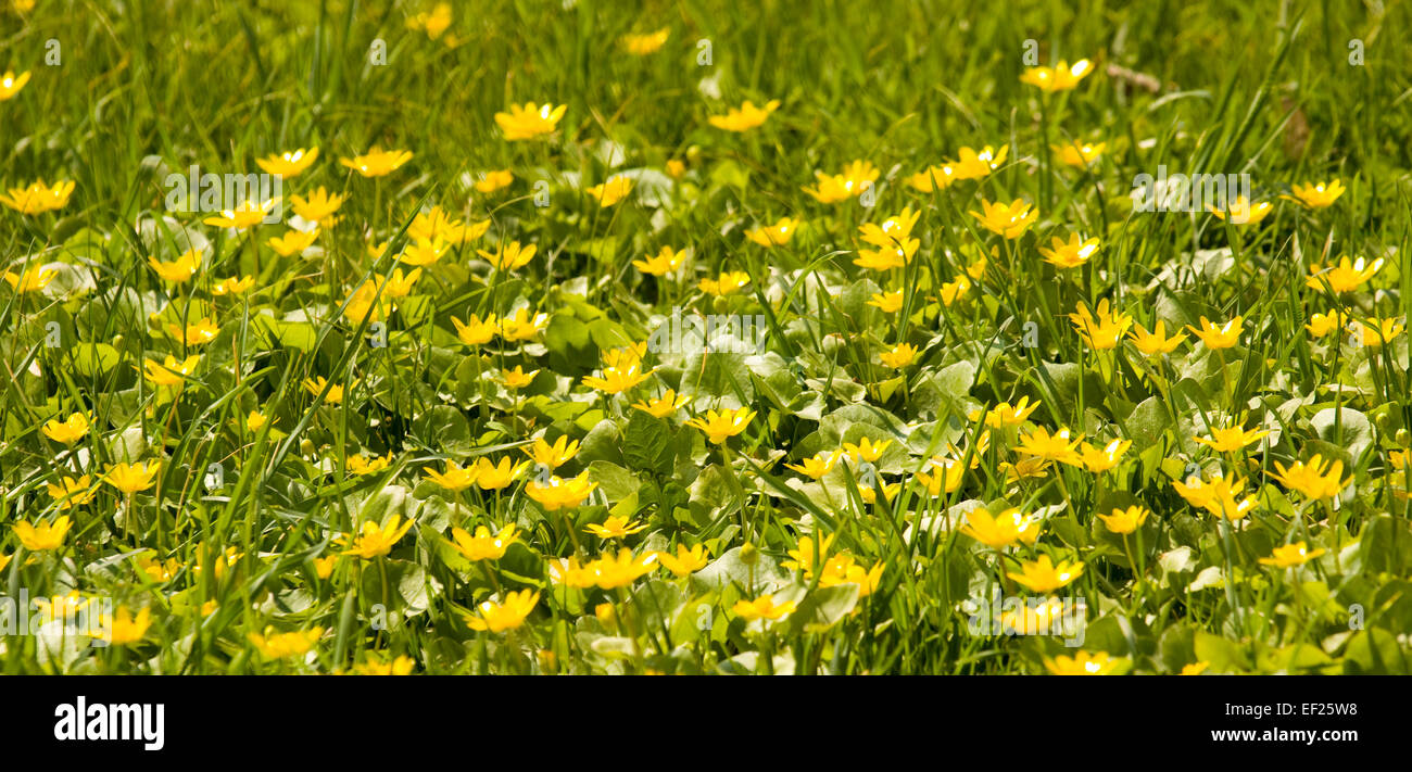 Meadow With Many Wild Spring Flowers Yellow Cups Buttercups Stock