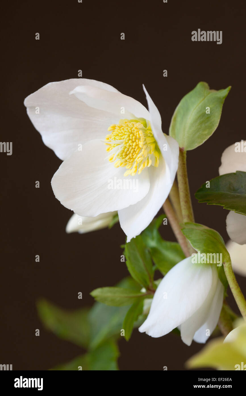 Close up of Helleborus Gold Collection 'HGC Joel' against a black background Stock Photo