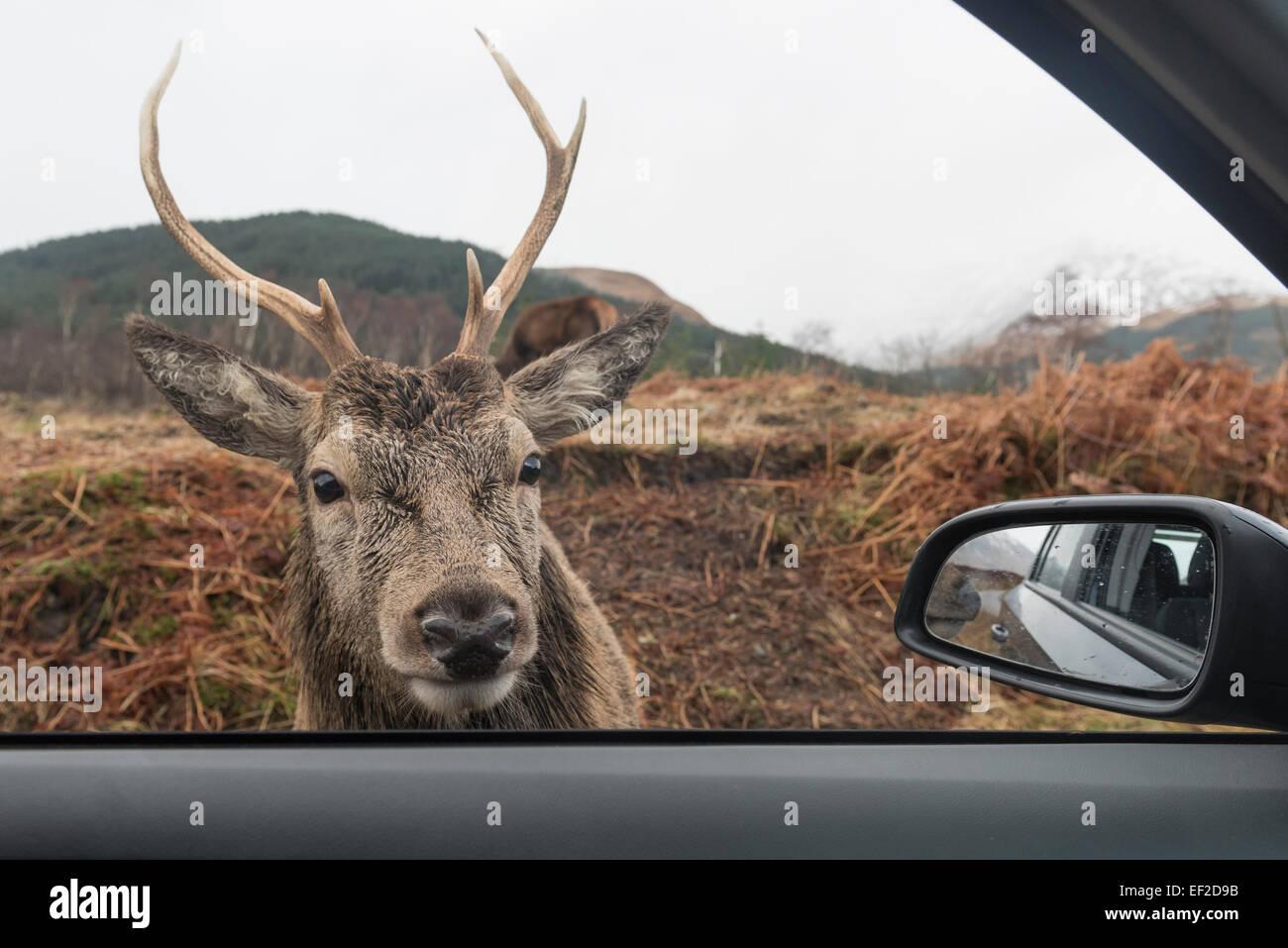 Deer looking through car window in Glen Etive, Scottish Highlands, Scotland Stock Photo