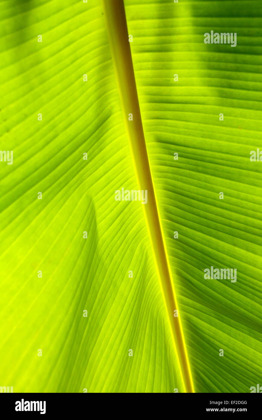 Detail of a banana leaf with the sun shining through, Barbar, Kingdom of Bahrain - Stock Image