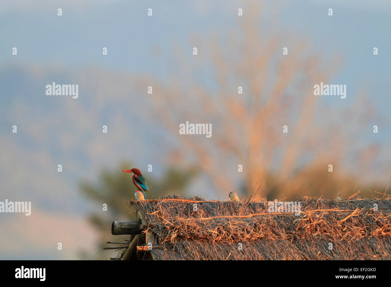 White-throated Kingfisher (Halcyon smyrnensis) perched on a barn roof. Tha Ton. Chiang Mai province. Thailand. - Stock Image