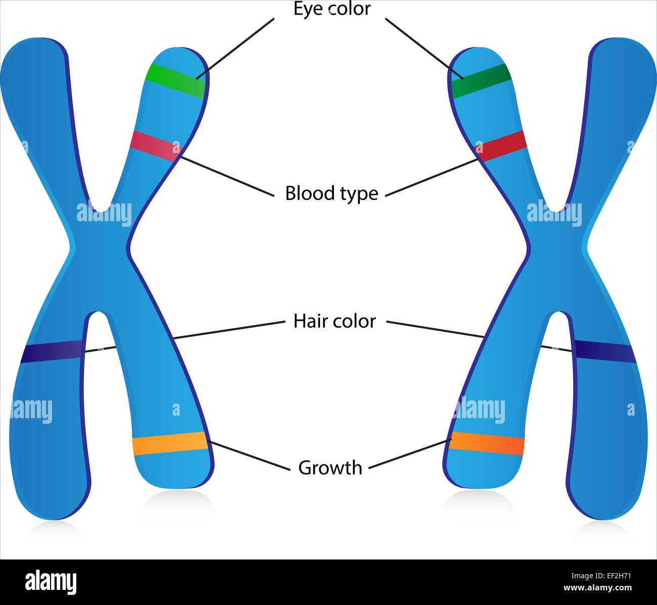genes and alleles stock photo 78118741 alamy