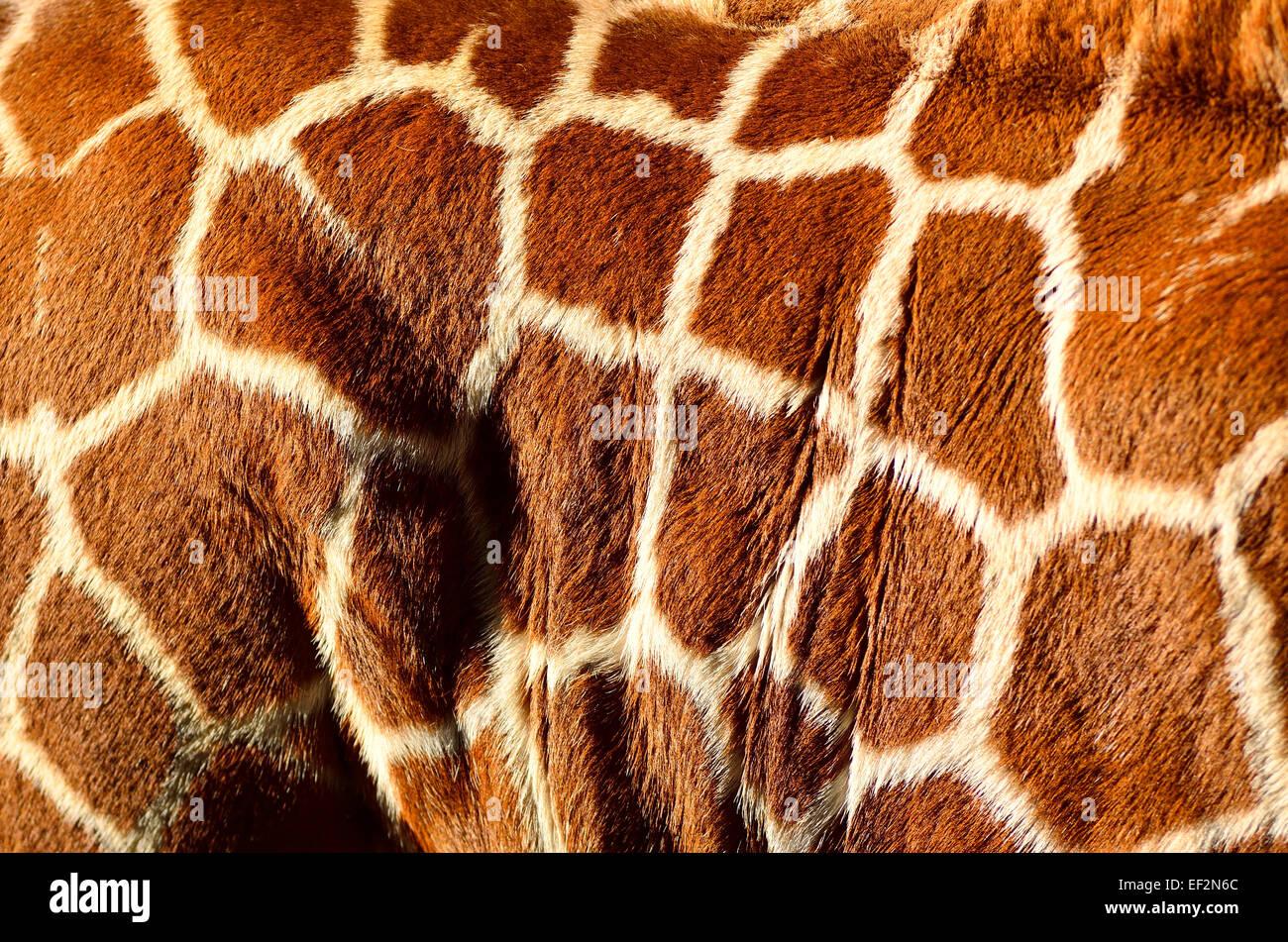 Giraffe body camouflage markings on hide - Stock Image