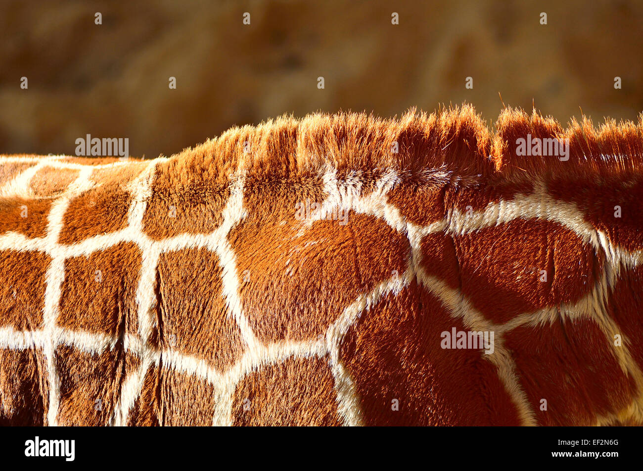 Giraffe shoulders with mane on back of neck - Stock Image