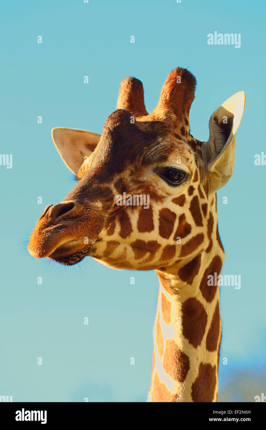 Giraffe head & neck - Stock Image