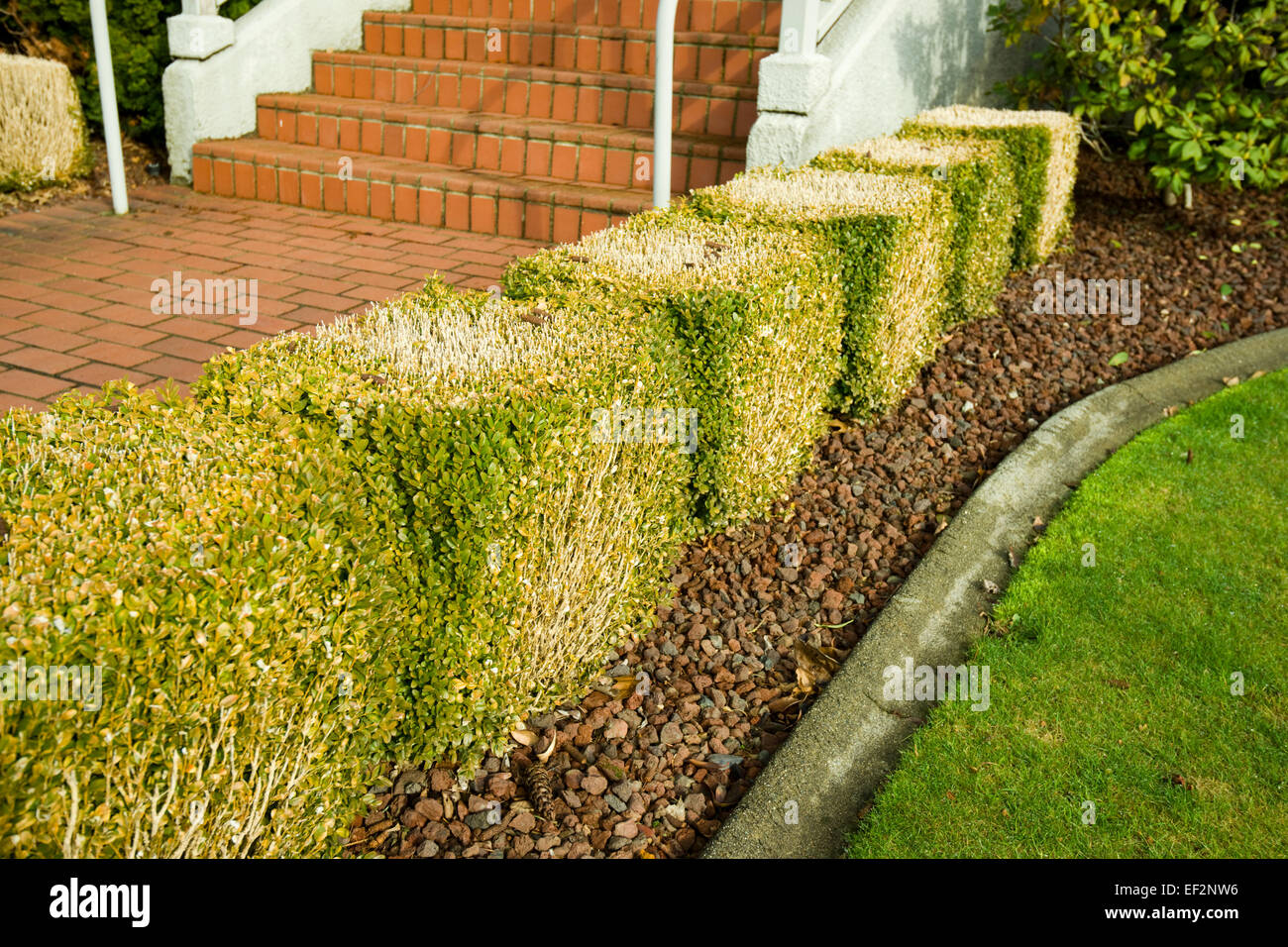heavily trimmed boxwood hedge buxus sempervirens - Stock Image