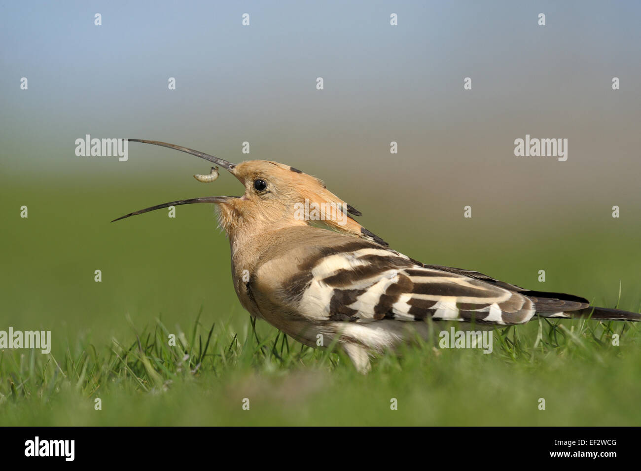Hoopoe with prey. - Stock Image