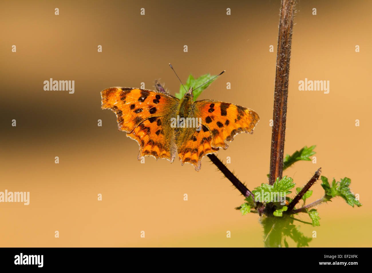 The Comma (Polygonia c-album) is a species of butterfly belonging to the family Nymphalidae. Sometimes called anglewing. - Stock Image
