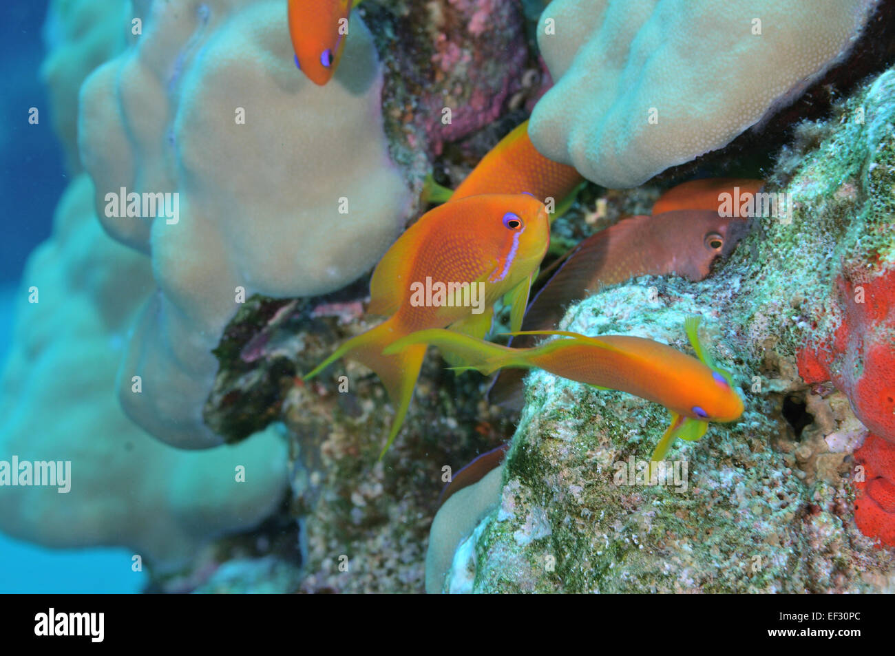Female scalefin or lyretail anthias, Pseudanthias squamipinnis and coral reef, Eilat, Israel, Red Sea - Stock Image