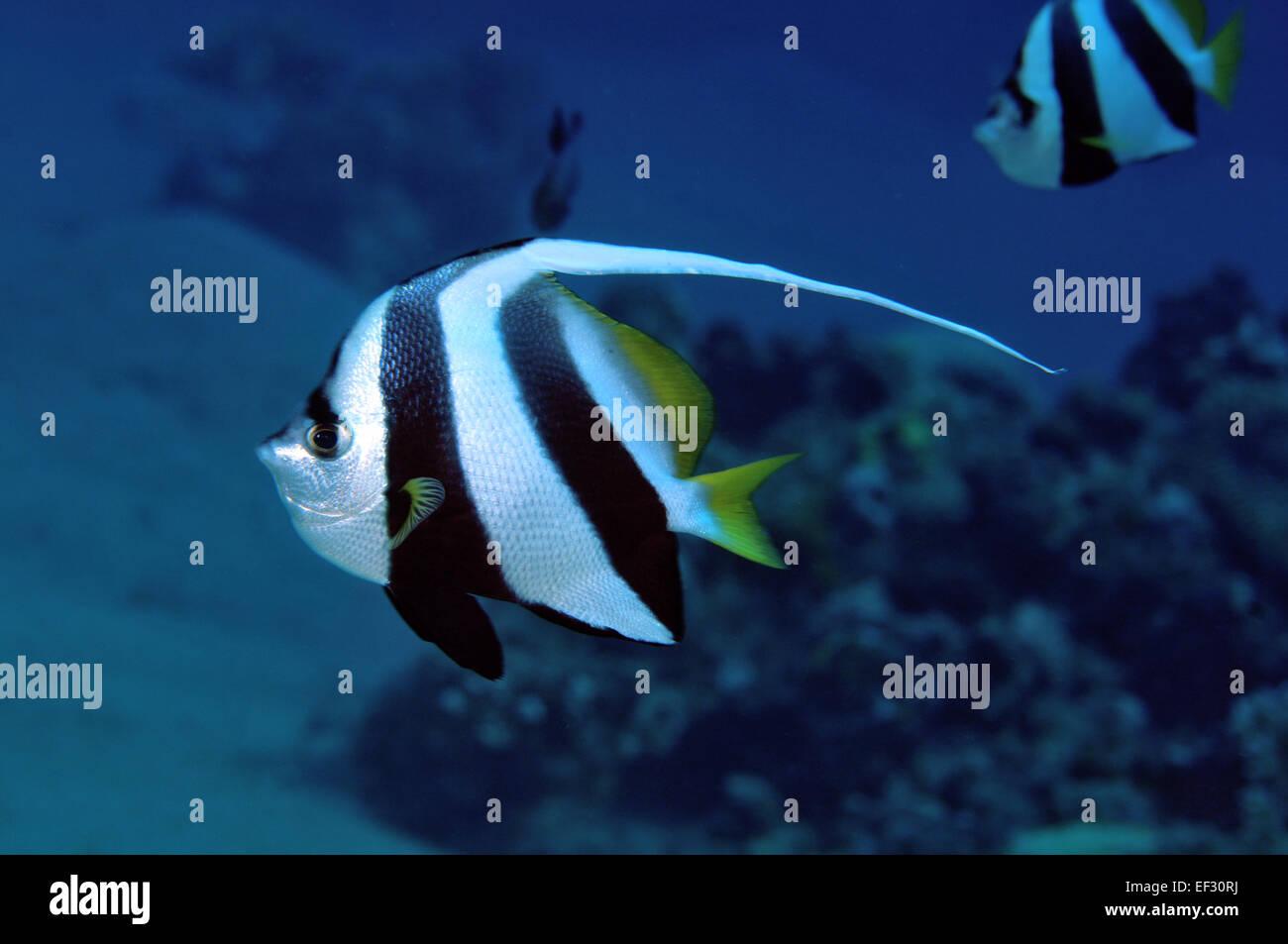 Pennant bannerfish or coralfish, Heniochus acuminatus, Eilat, Red Sea,  Israel - Stock Image
