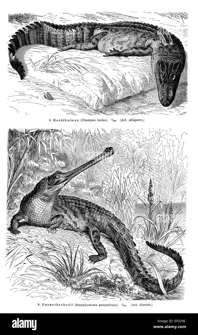 Wall chart, crocodiles II, illustration from Meyers Encyclopaedia, 1897 - Stock Image