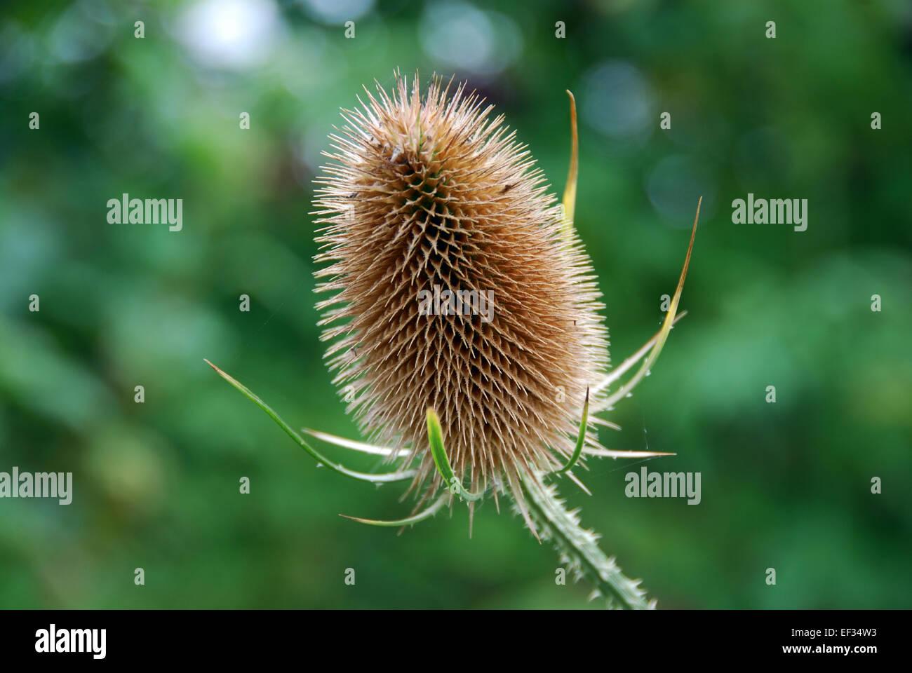 Teasel seedhead, UK - Stock Image