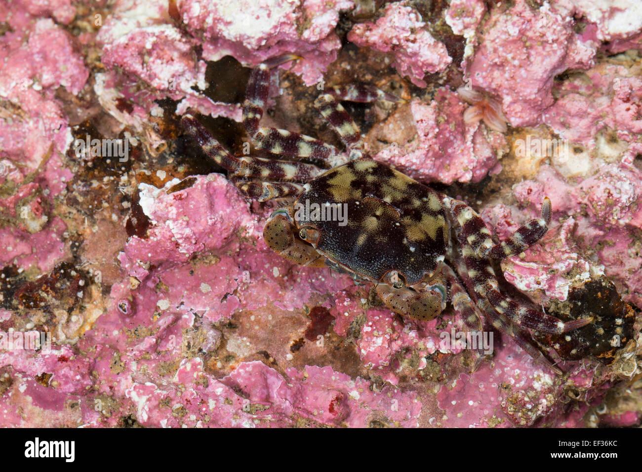 Japanese shore crab, Asian shore crab, Pacific crab, Japanische Felsenkrabbe, Asiatische Strandkrabbe, Hemigrapsus - Stock Image