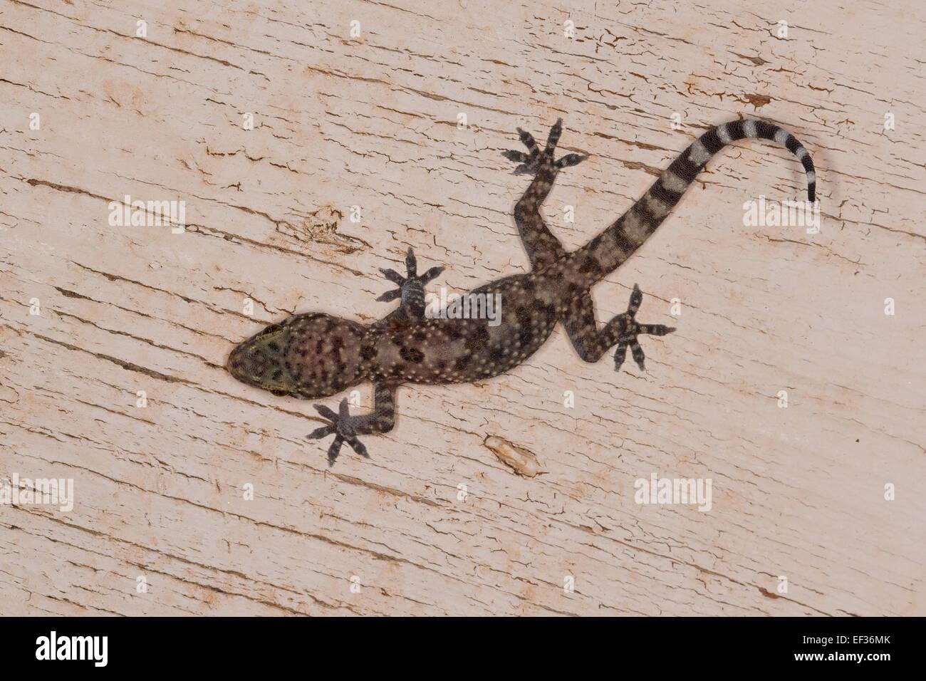 Turkish Gecko Mediterranean House Gecko Europaischer Halbfinger