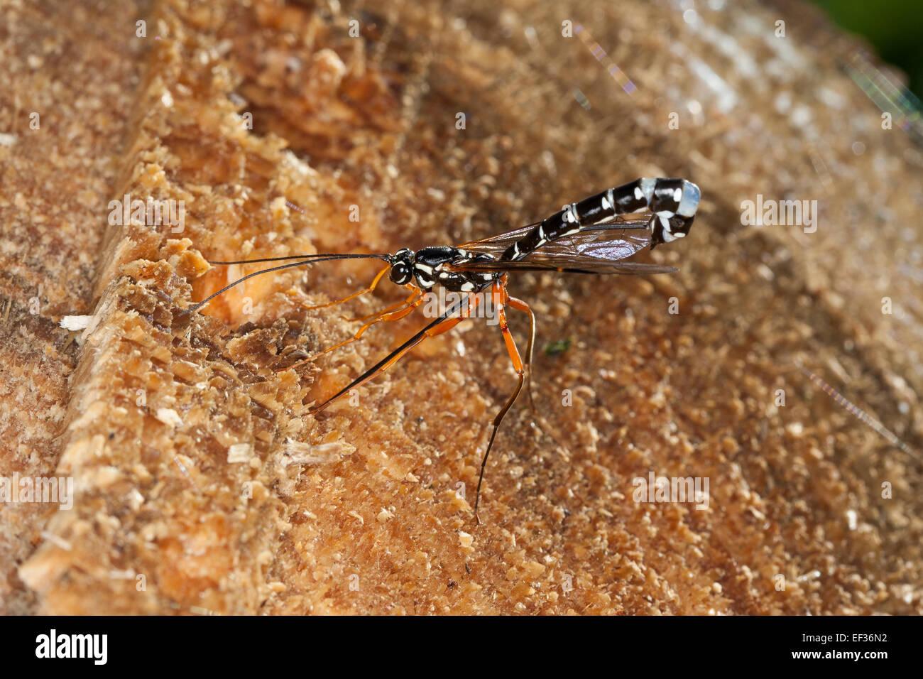 Giant Ichneumon, Sabre Wasp, large ichneumon wasp, female, Holzwespen-Schlupfwespe, Holzschlupfwespe, Weib, Rhyssa - Stock Image