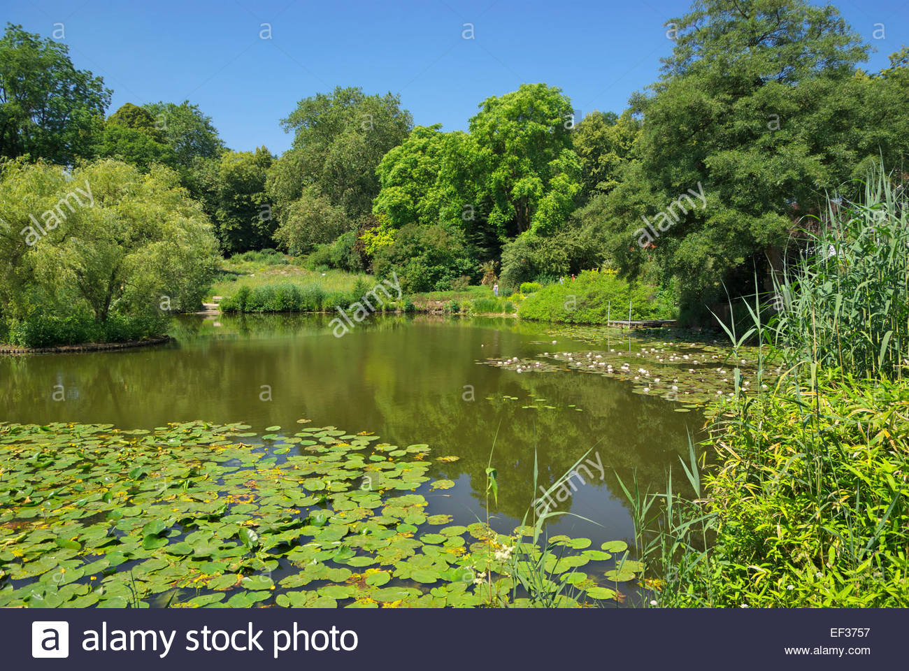 Water lilies, bamboo and various aquatic plants surround a pond at the botanical garden of University of Münster, - Stock Image