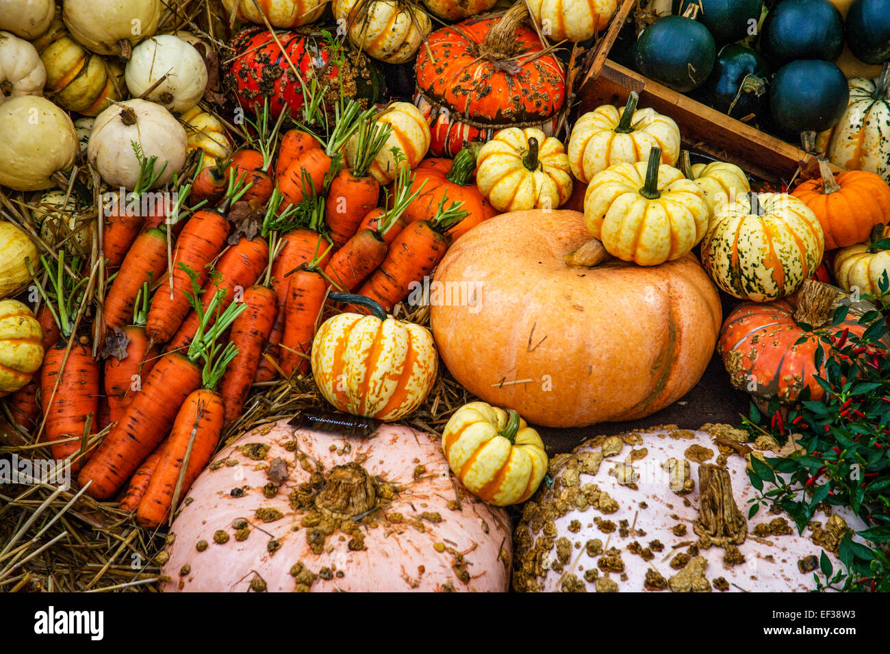 Pumpkins - Squashes and varieties of vegetables on display. - Stock Image