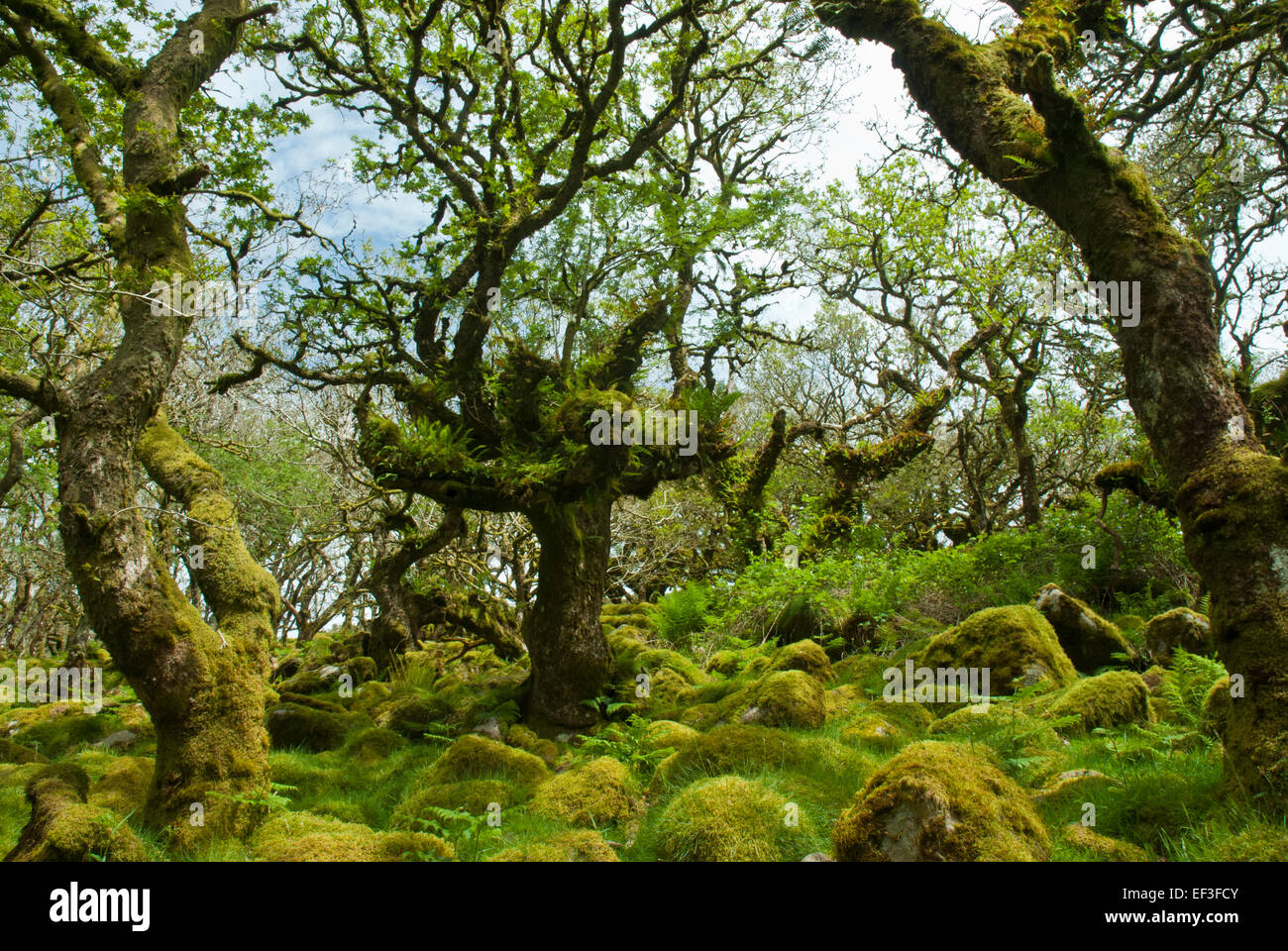 Wistman's Wood, Dartmoor, Devon UK. Gnarled ancient dwarf oaks and granite boulders covered in verdant moss - Stock Image