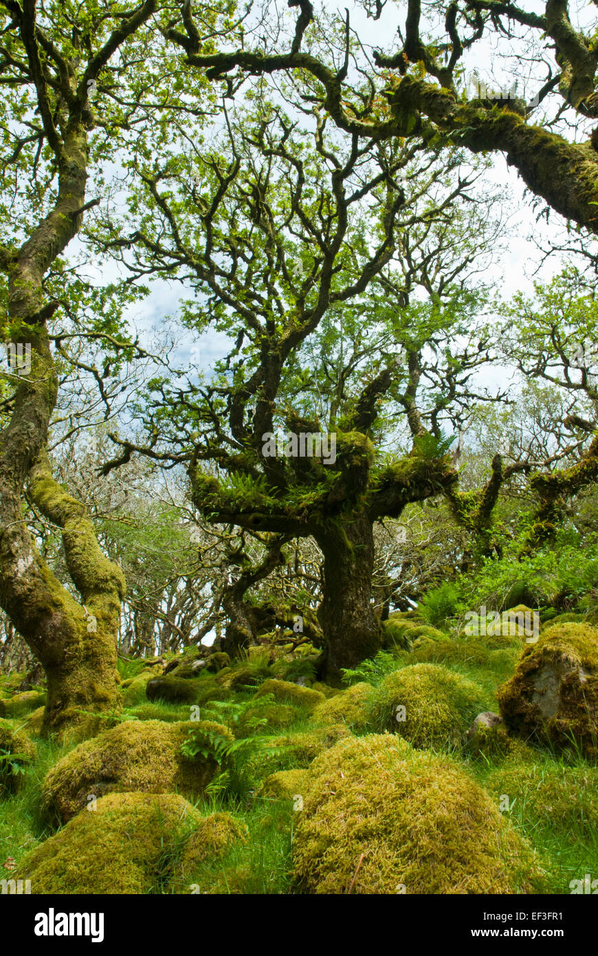 Wistman's Wood, Dartmoor, Devon UK. Gnarled ancient dwarf oaks and granite boulders covered in verdant moss and Stock Photo