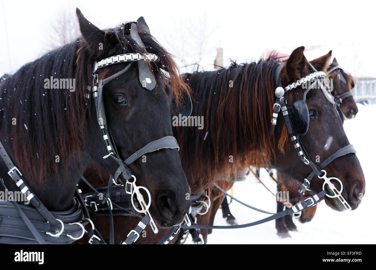 Team of Canadian horses in winter agility race - Stock Image