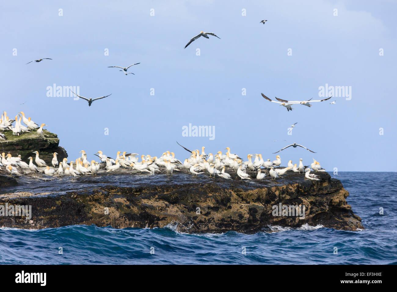 Colony of Gannets (Morus bassanus) on rock ledges during summer breeding season. Isle of Noss Nature Reserve Shetland - Stock Image