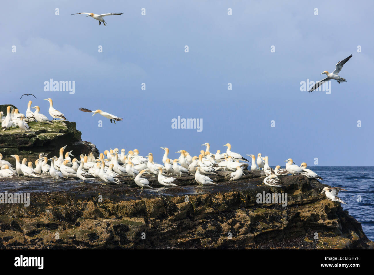 Adult and juvenile Northern Gannets (Morus bassanus) on seacliffs on Scottish Isle of Noss National Nature Reserve. - Stock Image