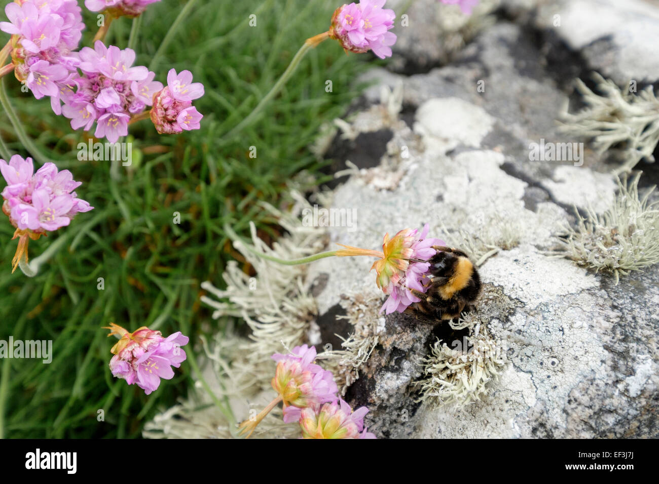 Thrift flower stock photos thrift flower stock images alamy bumble bee feeding on nectar in thrift or sea pinks flower armeria maritima growing mightylinksfo