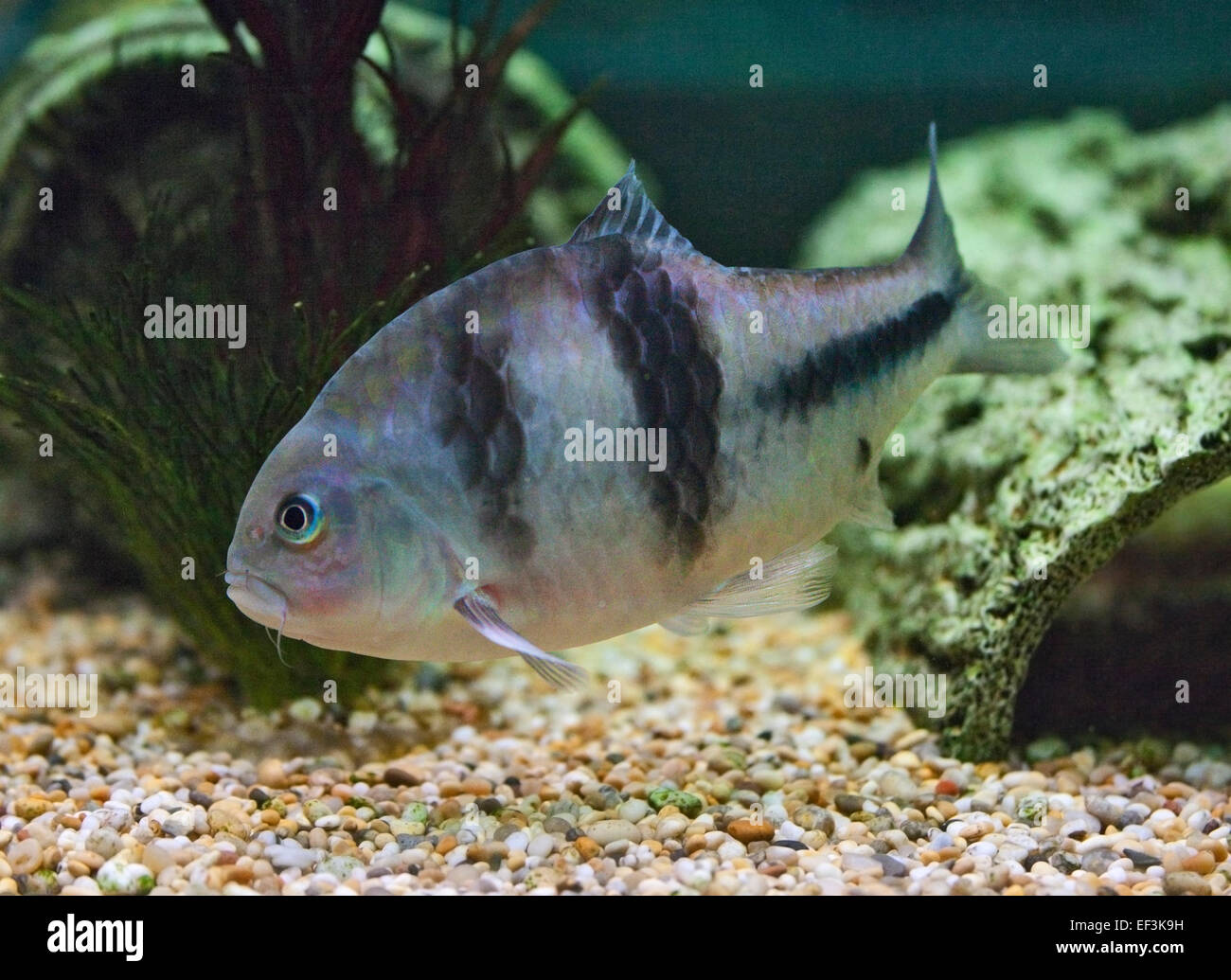 Spanner or T Barb (barbodes lateristriga) - Stock Image